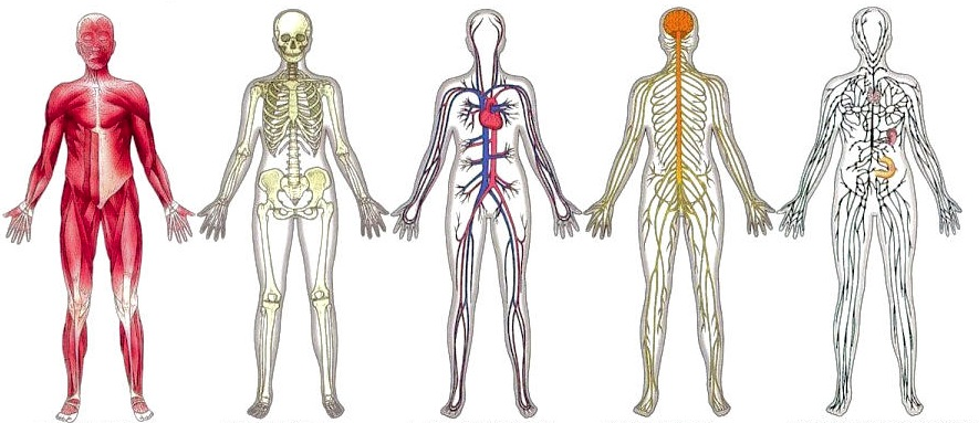 Organisation Of The Human Body Body Organs - Lessons - Tes Teach